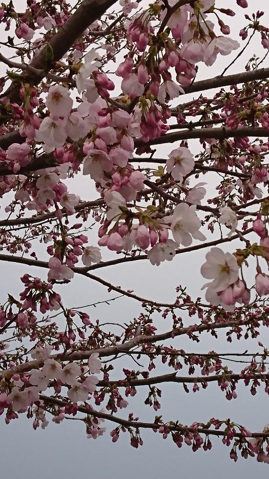 桜が咲き始めてる♪